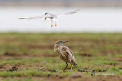 A Tern Pooping on an Indian Pond Heron to scare