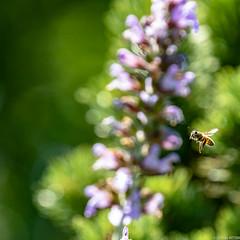 Abeille et sauge en fleur