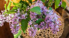 lilac. May