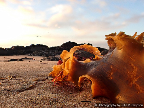 Golden leathery seaweed curled on sand more