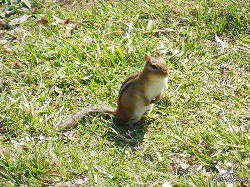 Chipmunk On Grass