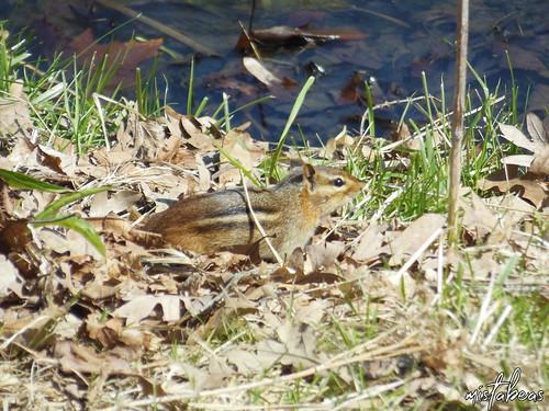 Chipmunk Near The Water