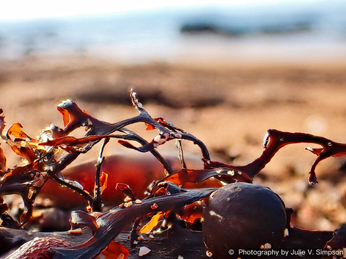 Black goldy pops seaweed