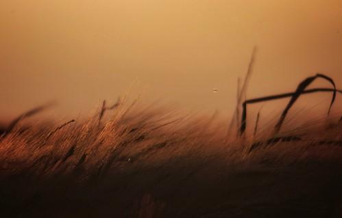 Las espigas y el viento 2.
