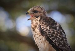 juvenile red shouldered hawk