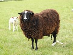 Zwartables ewe-local DSCN9164
