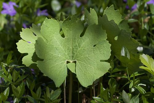 Bloodroot leaves