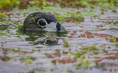 Water Witch .....Pied-billed Grebe  Ballona Freshwater Marsh    Southern California -202