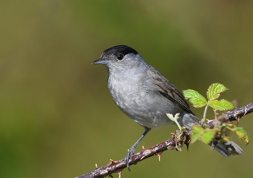Toutinegra-de-barrete / Blackcap (male)