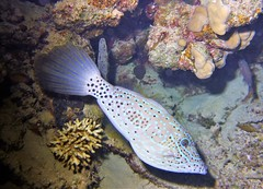 Poisson lime - filefish