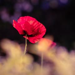 La vie peut parfois ressembler à un coquelicot, fragile, mais belle.