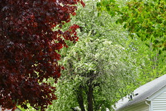 Ornamental Crab Tree