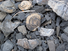 Gastropod & brachiopod fossils (Solsville Shale, Middle Devonian; Morrisville North roadcut, Madison County, New York State, USA)