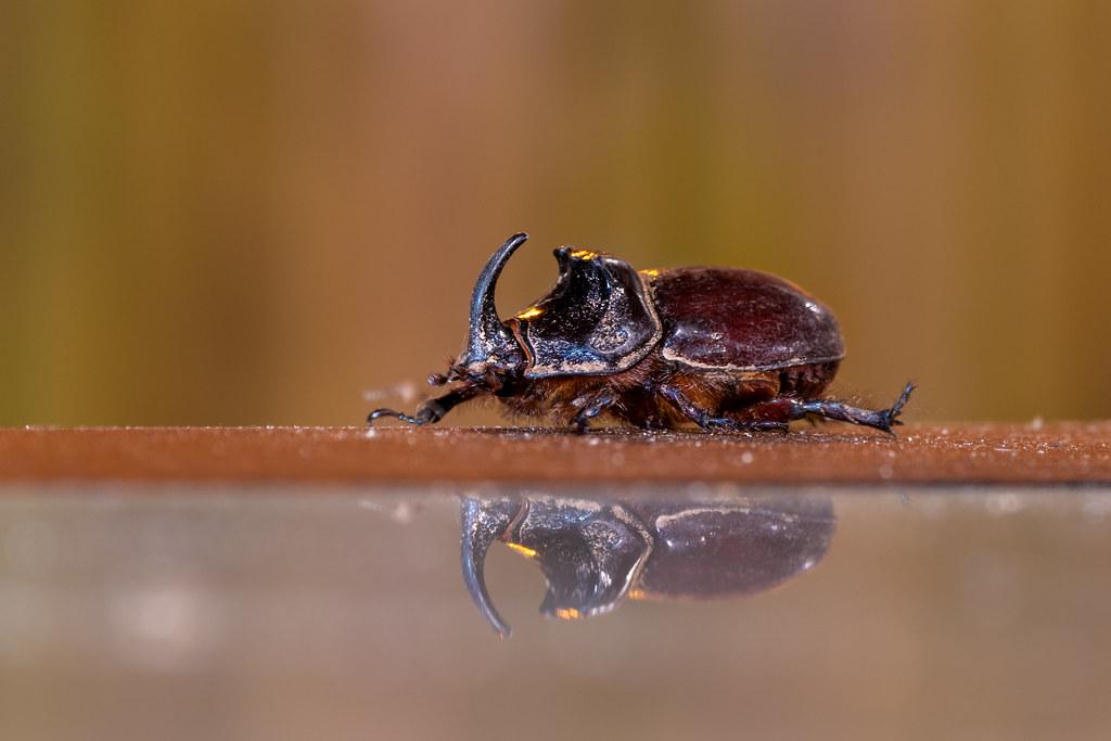 European Rhinoceros Beetle (Male) - Oryctes nasicornis