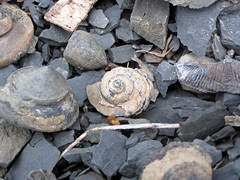 Gastropod fossils (Solsville Shale, Middle Devonian; Morrisville North roadcut, Madison County, New York State, USA) 2