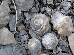 Gastropod fossils (Solsville Shale, Middle Devonian; Morrisville North roadcut, Madison County, New York State, USA) 5