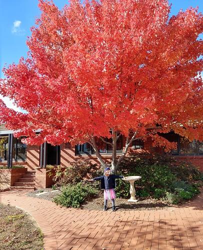 Maple tree, Yarralumla, ACT