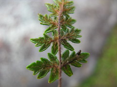 Cheilanthes distans leaf NC3