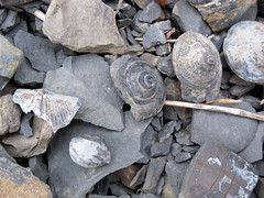 Gastropod fossils (Solsville Shale, Middle Devonian; Morrisville North roadcut, Madison County, New York State, USA) 8