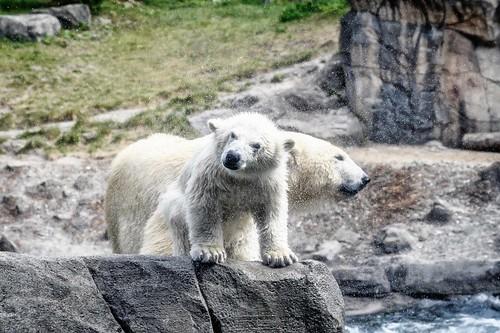 The polar bear baby