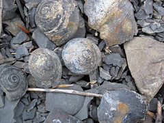 Gastropod fossils (Solsville Shale, Middle Devonian; Morrisville North roadcut, Madison County, New York State, USA) 6