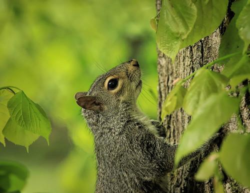 Squirrel (in explore)