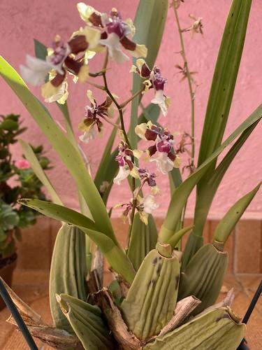 Mini orchids, São Caetano do Sul (town), São Paulo (State), Brazil.