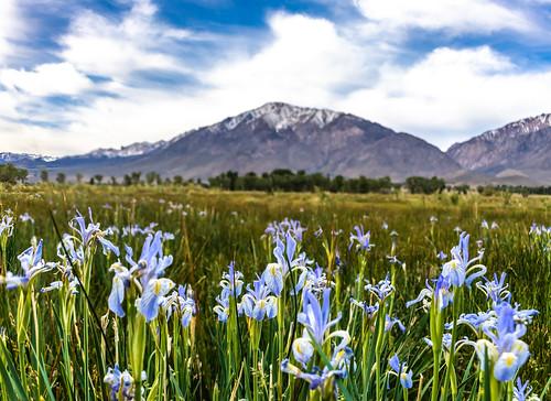 WIld Iris In The Eastern Sierra