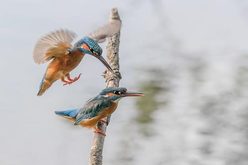 R20_7176 Mating Kingfishers