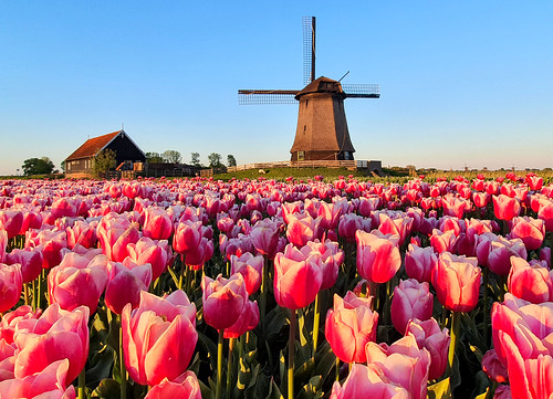 Windmill surrounding by tulips (the Netherlands)