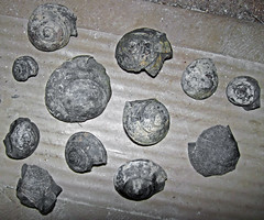 Gastropod fossils (Solsville Shale, Middle Devonian; Morrisville North roadcut, Madison County, New York State, USA) 10