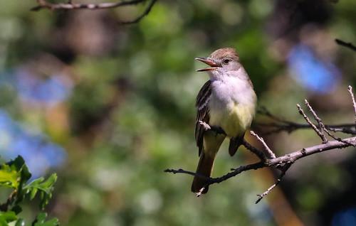 Ash throated Flycatcher 216  Malibu Creek State Park   Southern California -216
