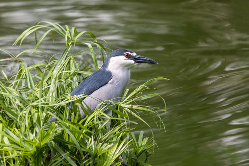 Black-crowned Night Heron © (Explore)