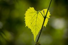Leaf - Ozarks - Missouri