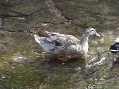 park duck62