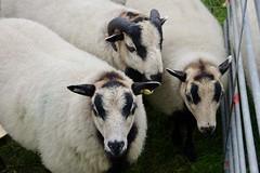Welsh Mountain Badger Face Sheep