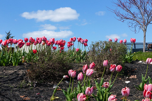 More than Two Tulips