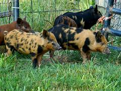 Tiger Pigs?