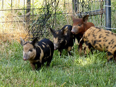 Ossabaw Island Piglets