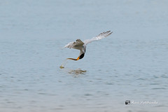 A River Tern catching a fish while Flying