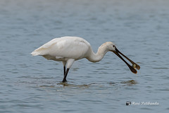 A Eurasian Spoonbill with a Happy Meal!
