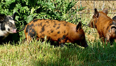 """And this little piggy cried """"wee wee wee"""" all the way home"""