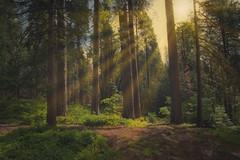 The Woods of Yosemite