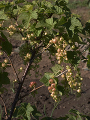Redcurrants Are Ripening In the Sunshine