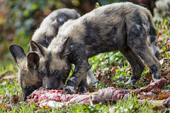 Two wild dog pups eating