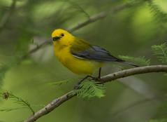 Prothonotary Warbler, male