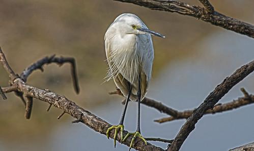Little egret (Egretta garzetta) DSC_0120