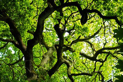 majestic oak - Goblin Lane Bridle Path, Cullompton, Devon - May 2020