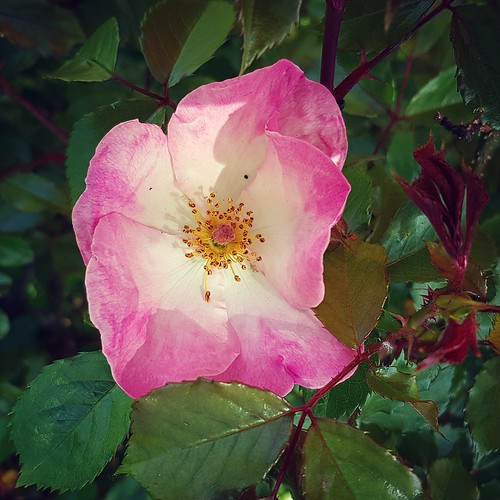 ...simple rose...