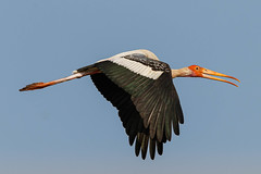 A Painted Stork Surveying a new subject in the area (ME!)